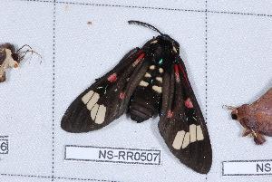 (Histioea - NS-RR0507)  @13 [ ] Copyright (2011) Rodolphe Rougerie University de Rouen