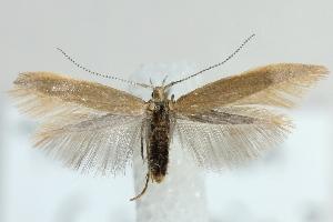 (Coleophora cornutella - MM22022)  @15 [ ] CreativeCommons - Attribution Non-Commercial (2012) Marko Mutanen University of Oulu