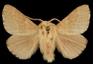 (Malacosoma constricta - 06-BLLOC-3252)  @14 [ ] CreativeCommons - Attribution Non-Commercial Share-Alike (2010) BIO Photography Group Biodiversity Institute of Ontario