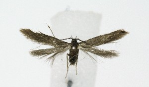 (Coleophora sp. KB01 - NHMO-DAR-9244)  @11 [ ] by-nc-sa (2016) Unspecified University of Oslo, Natural History Museum