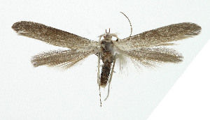 (Coleophora anatipennella - NHMO-DAR-5286)  @11 [ ] Copyright (2015) Unspecified University of Oslo, Natural History Museum