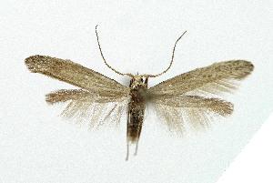 (Coleophora anatipenella - NHMO-DAR-5287)  @11 [ ] c (2015) Unspecified University of Oslo, Natural History Museum