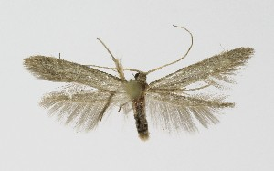 (Coleophora anatipenella - NHMO-DAR-9443)  @11 [ ] by-nc-sa (2016) Unspecified University of Oslo, Natural History Museum