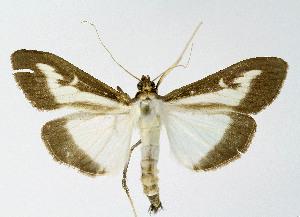 (Crambidae_gen - NHMO-DAR-10563)  @11 [ ] by-nc-sa (2016) Unspecified University of Oslo, Natural History Museum
