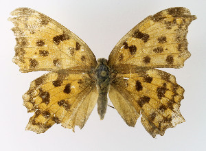 (Polygonia caureum - NHMO-DAR-10573)  @11 [ ] by-nc-sa (2016) Unspecified University of Oslo, Natural History Museum