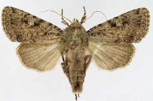 (Noctuidae_gen - NHMO-DAR-10581)  @11 [ ] by-nc-sa (2016) Unspecified University of Oslo, Natural History Museum