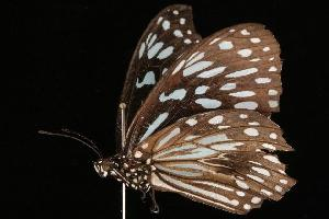 (Hypocysta adiante - Moth 316.01LZ)  @13 [ ] Copyright (2010) Unspecified Unspecified