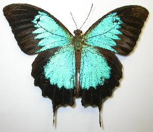 (Papilio ulysses - gvc00020-1L)  @14 [ ] Copyright (2004) Unspecified Unspecified
