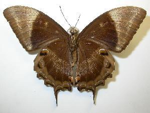 (Papilio ulysses - gvc00020-1L)  @14 [ ] Copyright (2004) Graeme V. Cocks Unspecified