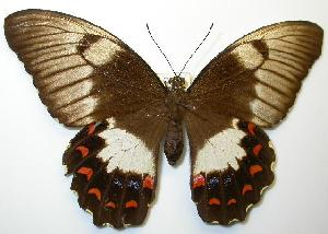 (Papilio aegeus - gvc00021-1L)  @15 [ ] Copyright (2004) Unspecified Unspecified