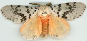 (Lymantria antennata - gvc5785-1L)  @15 [ ] Copyright (2004) Unspecified Unspecified