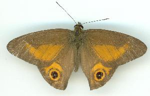 (Hypocysta irius - gvc6167-1L)  @14 [ ] Copyright (2004) Unspecified Unspecified