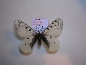 (Parnassius phoebus sauricus - 2005-LOWA-302)  @14 [ ] CreativeCommons - Attribution Non-Commercial Share-Alike (2010) BIO Photography Group Biodiversity Institute of Ontario