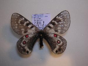(Parnassius staudingeri infernalis - 2005-LOWA-483)  @14 [ ] CreativeCommons - Attribution Non-Commercial Share-Alike (2010) Unspecified Biodiversity Institute of Ontario