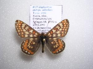 (Euphydryas merope altivolans - 2005-LOWA-112)  @14 [ ] CreativeCommons - Attribution Non-Commercial Share-Alike (2010) BIO Photography Group Biodiversity Institute of Ontario