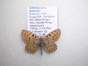 (Polycaena tamerlana - 2005-LOWA-508)  @13 [ ] CreativeCommons - Attribution Non-Commercial Share-Alike (2010) CBG Photography Group Centre for Biodiversity Genomics