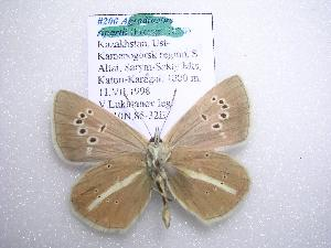 (Polyommatus damon mongolensis - 2005-LOWA-200)  @14 [ ] CreativeCommons - Attribution Non-Commercial Share-Alike (2010) CBG Photography Group Centre for Biodiversity Genomics