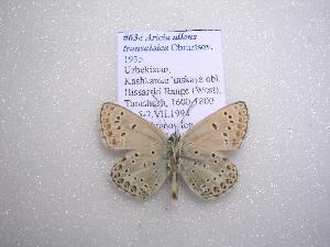 (Aricia artaxerxes transalaica - 2005-LOWA-622)  @13 [ ] CreativeCommons - Attribution Non-Commercial Share-Alike (2010) CBG Photography Group Centre for Biodiversity Genomics