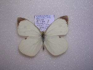 (Pieris brassicae ottonis - 2005-LOWA-727)  @14 [ ] CreativeCommons - Attribution Non-Commercial Share-Alike (2010) CBG Photography Group Centre for Biodiversity Genomics