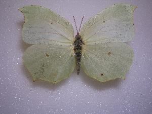 (Gonepteryx farinosa - LOWA-AR-68)  @14 [ ] Unspecified (default): All Rights Reserved  Unspecified Unspecified