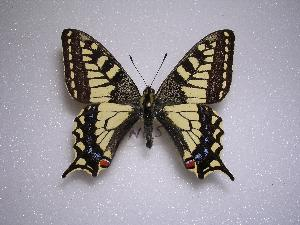 (Papilio machaon rinpoche - LOWA-NL-5)  @15 [ ] Unspecified (default): All Rights Reserved  Unspecified Unspecified