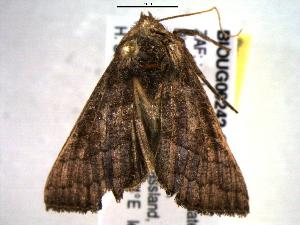 (Thysanoplusia violascens - BIOUG06242-C03)  @11 [ ] CreativeCommons - Attribution Non-Commercial Share-Alike (2013) CBG Photography Group Centre for Biodiversity Genomics
