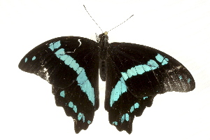 (Papilio nireus - BIOUG02087-B04)  @12 [ ] CreativeCommons - Attribution Non-Commercial Share-Alike (2012) BIO Photography Group Biodiversity Institute of Ontario