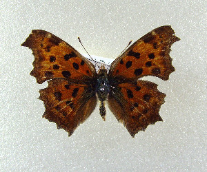(Polygonia c-aureum - SWC-09-5028)  @12 [ ] CreativeCommons - Attribution Non-Commercial No Derivatives (2009) Kim Mitter University of Maryland