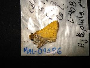 (Hylephila phyleus phyleus - MAL-04586)  @12 [ ] Unspecified (default): All Rights Reserved  Unspecified Unspecified