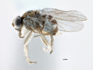 (Oscinellinae - CCDB-21328-E10)  @16 [ ] CreativeCommons - Attribution Non-Commercial Share-Alike (2014) CBG Photography Group Centre for Biodiversity Genomics