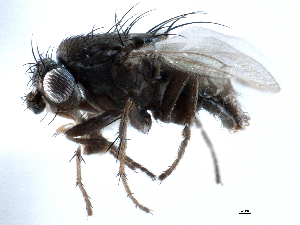 (Sphaeroceridae - CCDB-21403-B05)  @16 [ ] CreativeCommons - Attribution Non-Commercial Share-Alike (2014) BIO Photography Group Biodiversity Institute of Ontario