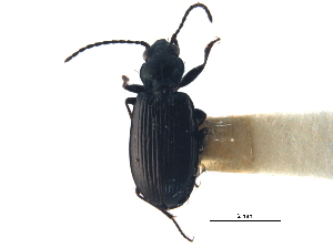 (Bembidion carolinense - CCDB-21405-A02)  @11 [ ] CreativeCommons - Attribution Non-Commercial Share-Alike (2014) BIO Photography Group Biodiversity Institute of Ontario