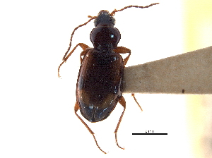 (Bembidion rupicola - CCDB-21405-F04)  @11 [ ] CreativeCommons - Attribution Non-Commercial Share-Alike (2014) BIO Photography Group Biodiversity Institute of Ontario