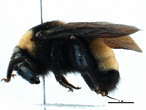 (Bombus nevadensis auroconis - CCDB-21409-A11)  @11 [ ] CreativeCommons - Attribution Non-Commercial Share-Alike (2014) BIO Photography Group Biodiversity Institute of Ontario