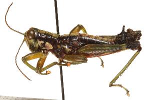 (Melanoplinae - CCDB-21424-G11)  @15 [ ] CreativeCommons - Attribution Non-Commercial Share-Alike (2014) BIO Photography Group Biodiversity Institute of Ontario