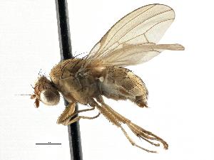 (Lauxaniidae - CCDB-21323-H06)  @15 [ ] CreativeCommons - Attribution Non-Commercial Share-Alike (2014) BIO Photography Group Biodiversity Institute of Ontario