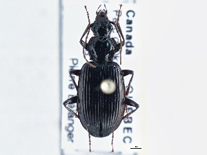 (Harpalinae - CCDB-21331-E05)  @16 [ ] CreativeCommons - Attribution Non-Commercial Share-Alike (2014) BIO Photography Group Biodiversity Institute of Ontario