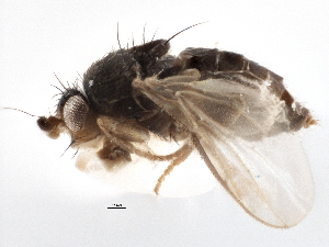 (Sphaeroceridae - CCDB-21402-C04)  @15 [ ] CreativeCommons - Attribution Non-Commercial Share-Alike (2014) BIO Photography Group Biodiversity Institute of Ontario