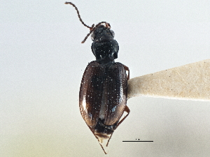 (Bembidion anguliferum - CCDB-21404-G10)  @11 [ ] CreativeCommons - Attribution Non-Commercial Share-Alike (2014) BIO Photography Group Biodiversity Institute of Ontario