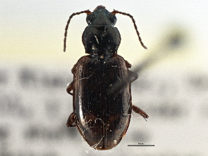 (Bembidion approximatum - CCDB-21404-G11)  @11 [ ] CreativeCommons - Attribution Non-Commercial Share-Alike (2014) BIO Photography Group Biodiversity Institute of Ontario