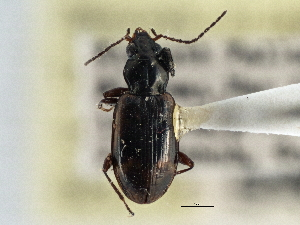 (Bembidion approximatum - CCDB-21404-H03)  @11 [ ] CreativeCommons - Attribution Non-Commercial Share-Alike (2014) BIO Photography Group Biodiversity Institute of Ontario