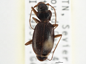 (Nebriinae - CCDB-21406-D01)  @15 [ ] CreativeCommons - Attribution Non-Commercial Share-Alike (2014) CBG Photography Group Centre for Biodiversity Genomics