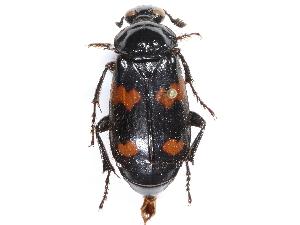 (Nicrophorus marginatus - CCDB-23295-F05)  @11 [ ] CreativeCommons - Attribution Non-Commercial Share-Alike (2015) BIO Photography Group Biodiversity Institute of Ontario