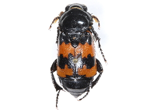(Nicrophorus marginatus - CCDB-23295-F07)  @11 [ ] CreativeCommons - Attribution Non-Commercial Share-Alike (2015) BIO Photography Group Biodiversity Institute of Ontario