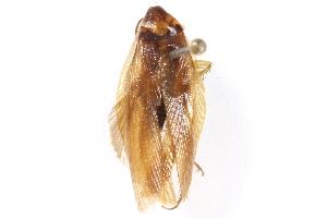 (Parcoblatta bolliana - CCDB-23299-H06)  @11 [ ] CreativeCommons - Attribution Non-Commercial Share-Alike (2015) BIO Photography Group Biodiversity Institute of Ontario