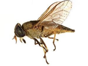 (Tabanus quinquevittatus - CCDB-23501-B08)  @11 [ ] CreativeCommons - Attribution Non-Commercial Share-Alike (2015) BIO Photography Group Biodiversity Institute of Ontario
