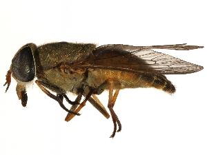 (Tabanus quinquevittatus - CCDB-23501-B09)  @15 [ ] CreativeCommons - Attribution Non-Commercial Share-Alike (2015) CBG Photography Group Centre for Biodiversity Genomics