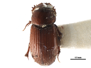 (Ataenius desertus - CCDB-23513-E04)  @11 [ ] CreativeCommons - Attribution Non-Commercial Share-Alike (2015) BIO Photography Group Biodiversity Institute of Ontario