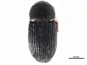(Ataenius miamii - CCDB-23513-F09)  @11 [ ] CreativeCommons - Attribution Non-Commercial Share-Alike (2015) BIO Photography Group Biodiversity Institute of Ontario
