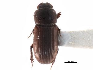 (Ataenius puncticollis - CCDB-23513-G06)  @11 [ ] CreativeCommons - Attribution Non-Commercial Share-Alike (2015) BIO Photography Group Biodiversity Institute of Ontario